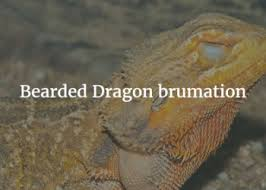 Bearded Dragon Shedding A Lot by Bearded Dragon Shedding Exoticdirect