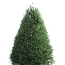Publix Christmas Trees by Shop 7 8 Ft Fresh Douglas Fir Christmas Tree At Lowes Com