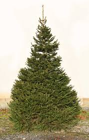 Potted Christmas Tree by Christmas Trees At Bawtry Forest Doncaster Yorkshire And Botany