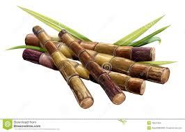 Sugar Cane Stock Illustrations 5575 Vectors Clipart