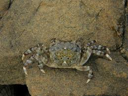 Decorator Crabs And Sea Sponges by Marine Crabs At The South Coast Friends Of The Taputeranga