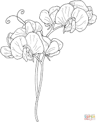 Sweet Pea Flowers Coloring Page