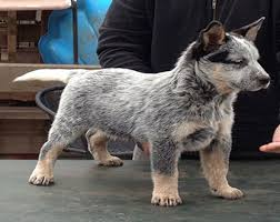 Small Non Shedding Dogs Australia by The Australian Cattle Dog High Energy And High Devotion