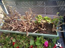 geranien überwintern so überleben pelargonien den winter