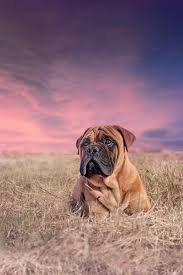 Do Bullmastiffs Shed A Lot by 426 Best Perro Images On Pinterest American Bullies Dogs And