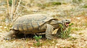 Flukers Turtle Clamp Lamp by Desert Tortoise For Sale Baby Desert Tortoises For Sale Online
