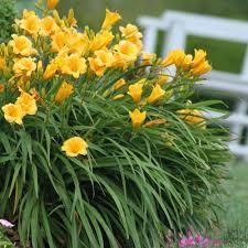 perennial daylily flower bulbs garden plants flowers the