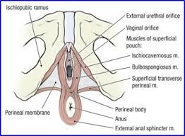 Muscles Of The Pelvic Floor Male by Duke Anatomy Lab 9 Perineum