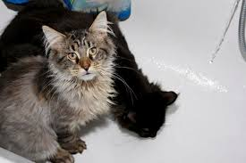 Do Maine Coons Shed In The Summer by 12 Huge Facts About Maine Coons Mental Floss