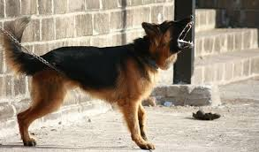Guard Dogs That Dont Shed by The Web U0027s Best Source For Large Dog Care Tips Canine Weekly