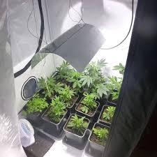 cannabis plantage in bielefelder wohnung entdeckt