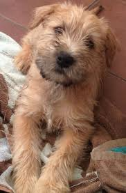 Do Wheaten Terrier Dogs Shed by Irish Soft Coated Wheaten Terrier Dog Dogs And Puppies