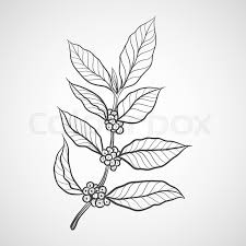 Coffee Plant With Leaf