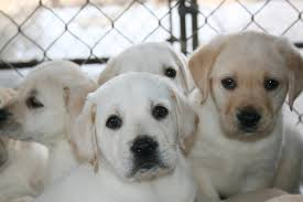 Guard Dogs That Dont Shed by 100 Top 10 Dogs That Dont Shed Which Small Dog Breeds Are