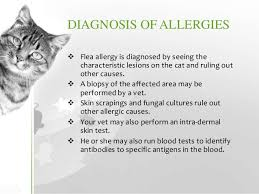 fleas on cats symptoms cat allergies symptoms diagnosis treatment prevention