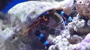 Halloween Hermit Crab Care by Blue Leg Hermit Crab At Work Youtube