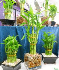 Plants In Bathroom Vastu by How To Take Care Of Bamboo House Plants Bamboo House Plant