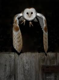 Simon Wantling Wildlife Photography - Barn Owls Barn Owl Wikipedia Owl Owlingcom Large Needle Felted By Jessiedockins On Deviantart This Is All You Need To Know About Owls Youtube Watch The Secret To Why Barn Owls Dont Lose Their Hearing Waits Birdnote Adopt Charlie Hawk Conservancy Trust Audubon Field Guide Box Company Birds Of The World Owls What Male Want Big Spots Curious Stock Photo 60128467 Shutterstock