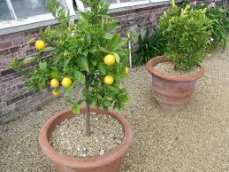 fruit trees a planting guide for fruit trees in containers