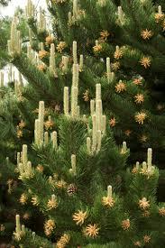 Tannenbaum Christmas Tree Farm Kelowna by Oregon Green Austrian Pine Monrovia Oregon Green Austrian Pine