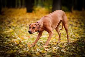 Do Rhodesian Ridgebacks Drool by Most Popular Dog Breeds List Ilovepets Com