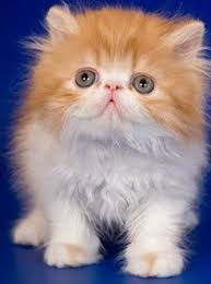tea cup cat ultimate cat facts about teacup cats