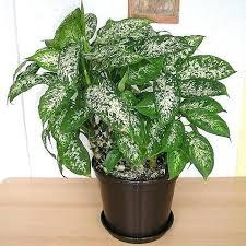 le bureau verte plante verte interieur depolluante le chlorophytum une plante