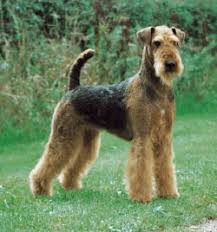 Do Airedale Puppies Shed by Airedale Terrier Dog Lovers