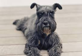 Do Hypoallergenic Dogs Still Shed by Hypoallergenic Dog Breeds For Those Allergic To Dogs