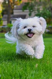 Small Dogs That Dont Shed Uk by 15 Quiet Dog Breeds Dogs That Don U0027t Bark