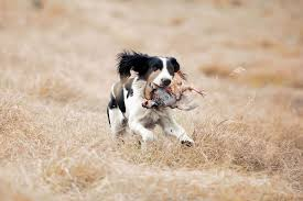 springer spaniel shed hunting 100 images faq s english
