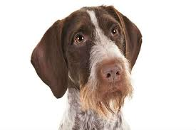 Griffon German Wirehaired Pointer Shedding by German Wirehaired Pointer Dog Breed Information American Kennel Club