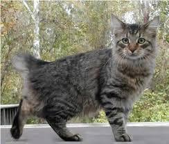 bobtail cat the american bobtail cat breed