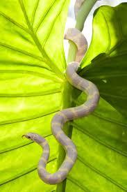 Corn Snake Shedding Too Often by Best 25 Corn Snake Ideas On Pinterest Snakes Pet Snake And Snake