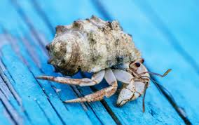 Do Hermit Crabs Shed Their Legs by 100 Do Hermit Crabs Shed Legs Crabs Horshoe Crabs Hermit