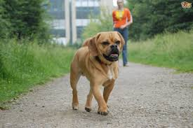 do pugs and puggles shed potential problems with the puggle pets4homes