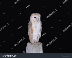 Barn Owl Common Barn Owl Stock Photo 644550523 - Shutterstock Common Barn Owl 4 Mounths In Front Of A White Background Stock Royalty Free Images Image 23603549 Known Photo 552016159 Shutterstock Owl Wikipedia 644550523 Mdc Discover Nature Tyto Alba Perched On A Falconers Arm At Daun Audubon Field Guide Mounths Lifeonwhite 10867839 Barnowl 1861 Best Owls Snowy Saw Whets Images Pinterest Photos Dreamstime