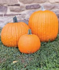 Connecticut Field Pumpkin For Pies by Small Sugar Pumpkin Seeds And Plants Vegetable Gardening At