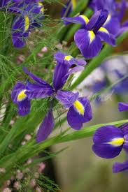 20 best other summer flowering bulbs images on flowers