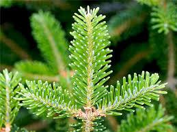 Balsam Christmas Tree Care by Wccta Boone North Carolina Christmas Tree Facts