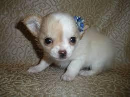 Do Long Haired Chiweenies Shed by Long Hair Chihuahua Bonbon Chihuahuas
