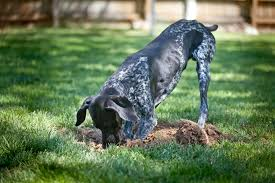 Prevent Your Dog From Digging Up Your Yard - Mindful Living Network Qa More Help For Dogfriendly Gardens Sunset Beetles Backyard And Beyond Page 6 Best 25 Dog Backyard Ideas On Pinterest Potty Bathroom What To Do With Your Pets Remains After Death I Used Concrete Blocks As Planters To Keep My Dog From Digging 26 Burrowing Animals Pictures You Need See Right Now Man Admits Shooting Burying In Westside Jacksonville Is Your A Bone Or Other Objects Gotta Find That Peanut Bury It My Wildlife Squirrels Burying Nuts Documentary Youtube Mountain Lion Deaths Creasing Near Santa Monica Mountains Abc7com Squirrel Nut Frenzy