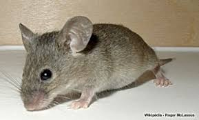 comment attraper une souris sans la tuer porcelaine