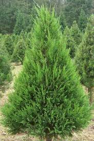 Types Of Christmas Trees To Plant by Worthington Tree Farm