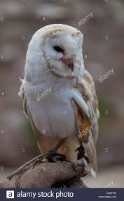 Barn Owl Sat On A Falconers Glove Stock Photo, Royalty Free Image ... Barn Owl Looking Over Shoulder Perched On Old Fence Post Stock Eccles Dinosaur Park Carnivore Carnival The Salt Project Barn Moving Head Side To Slow Motion Video Footage 323 Best Owls Images Pinterest Owls Children And Free Images Wing White Night Animal Wildlife Beak Predator 189 Beautiful Birds Sat A Falconers Glove Photo Royalty Image Paris Owl 150 Pictures Snowy More