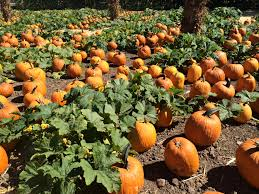 Lane Farms Pumpkin Patch by Best Pumpkin Patches In Southern California