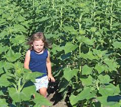 Pumpkin Patch Topeka Ks by Looking To Beat The Crowds For Sunflower Photos New Field Near