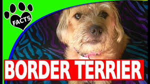 Border Terrier Non Shedding by Dogs 101 Border Terriers Starring Maisy The Border Terrier