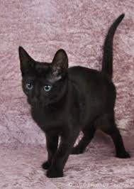 russian cat names russian blue cat pictures