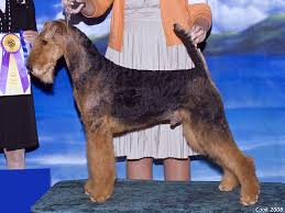 Airedale Terrier Non Shedding by Least Shedding Dog Spotters